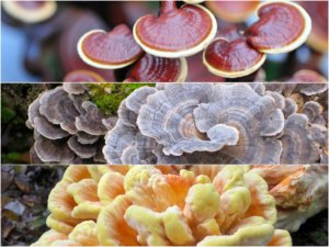 medicinal-mushrooms blog